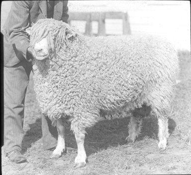 Cotswold Ram