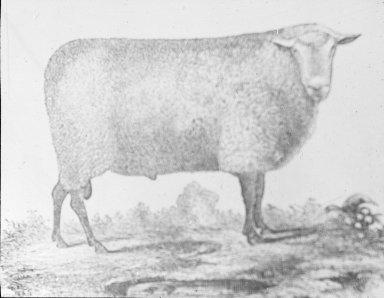 Oxford Ram